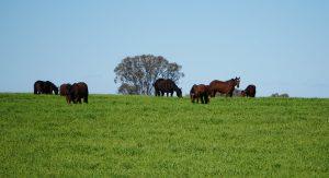 Burwood Stud Horses Grazing